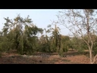Ayurvedic medicine and herb fruit Indian Gooseberries growing on tree