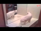 Cute Fluffy Cat Epic Fighting against Itself. Mirror Fail. USA (WFA...